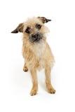 Cão atento de Terrier de beira no branco Imagens de Stock Royalty Free
