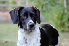 Cão atento no jardim, Munsterlander preto e branco, manchado, pequeno Imagem de Stock