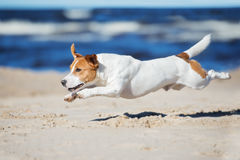 Cão ativo do terrier de russell do jaque em uma praia Imagens de Stock