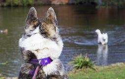 Cão atrás de olhar um outro cão no wter imagem de stock