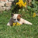 Cão australiano agradável do gado que encontra-se na grama imagens de stock