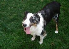 Cão australiano do abrigo do pastor Imagens de Stock Royalty Free