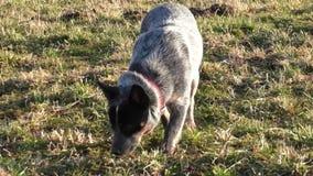 Cão australiano do gado filme