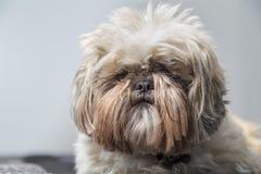 Cão bagunçado de Shi Tzu sério em um fundo cinzento imagem de stock