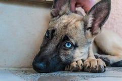 Cão belga de Malinois Fotografia de Stock Royalty Free