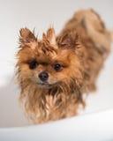 Cão bem preparado grooming Preparação de um cão pomeranian Pomeranian engraçado no banho Cão que toma um chuveiro Cão no backgrou foto de stock