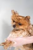 Cão bem preparado grooming Preparação de um cão pomeranian Pomeranian engraçado no banho Cão que toma um chuveiro Cão no backgrou fotos de stock royalty free