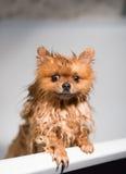Cão bem preparado grooming Preparação de um cão pomeranian Pomeranian engraçado no banho Cão que toma um chuveiro Cão no backgrou foto de stock royalty free