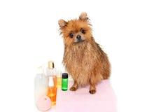 Cão bem preparado grooming Preparação de um cão pomeranian Pomeranian engraçado no banho Cão que toma um chuveiro Cão no backgrou imagens de stock
