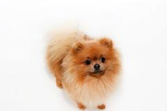 Cão bem preparado grooming Preparação de um cão pomeranian Pomeranian engraçado no banho Cão que toma um chuveiro Cão no backgrou imagem de stock