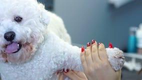 Cão Bichon Frise dos pentes do Groomer na barbearia para cães video estoque