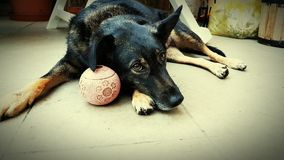 Cão & bola Imagem de Stock Royalty Free