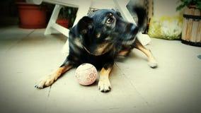 Cão & bola Fotografia de Stock