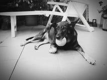 Cão & bola Fotos de Stock Royalty Free
