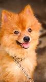 cão bonito acorrentado mas sorriso Foto de Stock Royalty Free