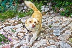 Cão bonito, alaranjado em uma corrente no close-up da jarda, esticando seus pés dianteiros, acenando sua cauda imagens de stock