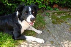 Cão bonito - border collie, República Checa, verão fotografia de stock