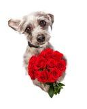 Cão bonito com as dúzia rosas vermelhas imagem de stock