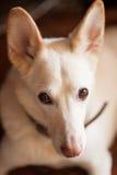 Cão bonito com orelhas grandes Fotografia de Stock Royalty Free