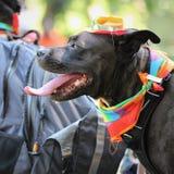 Cão bonito com Pride Scarf foto de stock