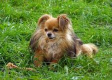 Cão bonito com um osso que senta-se na grama verde em um prado L engraçado imagens de stock royalty free