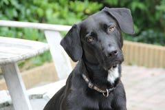 Cão bonito com uma cabeça enviesada Imagens de Stock
