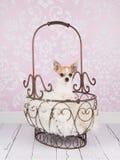 Cão bonito da chihuahua na cesta antiga Fotografia de Stock