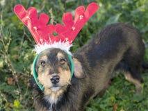 Cão bonito da raça da mistura com chifres da rena imagem de stock royalty free