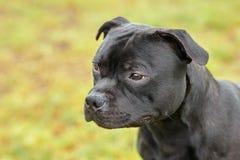 Cão bonito da raça de Staffordshire bull terrier, cor escura do tigre com olhar melancólico Retrato ascendente próximo no CCB ver fotos de stock royalty free