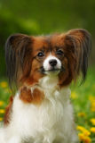 Cão bonito da raça Papillon Foto de Stock Royalty Free