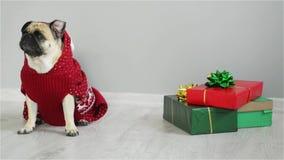 Cão bonito da raça um pug em um terno da rena O cão é vestido em uma camiseta vermelho-branca e no assento ao lado dos presentes vídeos de arquivo