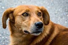 Cão bonito da rua, familiaris do lúpus de canis Imagem de Stock Royalty Free