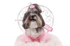 Cão bonito de Bichon Havanese fotografia de stock