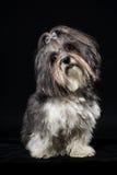 Cão bonito de Bichon Havanese que inclina a cabeça no fundo preto foto de stock