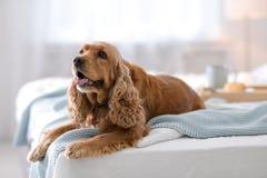 Cão bonito de Cocker Spaniel com cobertura morna imagem de stock
