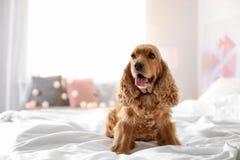 Cão bonito de Cocker Spaniel na cama em casa fotos de stock royalty free