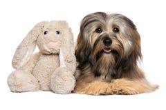 Cão bonito de Havanese com um brinquedo do luxuoso do coelho imagem de stock royalty free