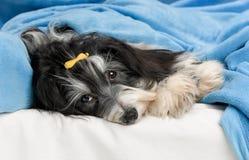 Cão bonito de Havanese na cama Imagens de Stock Royalty Free