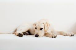 Cão bonito de Labrador Imagem de Stock Royalty Free
