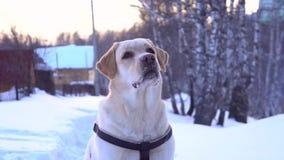 Cão bonito de labrador retriever durante os cães que treinam o assento na neve filme