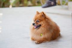 Cão bonito de Pomeranian Imagem de Stock