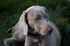 Cão bonito de Weimaraner Imagens de Stock Royalty Free