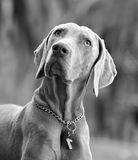 Cão bonito de Weimaraner do homem adulto Fotos de Stock Royalty Free