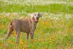 Cão bonito de Weimaraner que olha o visor imagens de stock