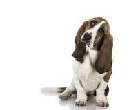 Cão bonito do Basset do bebê Fotos de Stock