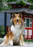 Cão bonito do collie Foto de Stock
