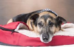 Cão bonito do Corgi que estabelece em sua cesta imagens de stock
