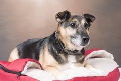 Cão bonito do Corgi que relaxa em uma cama confortável fotografia de stock royalty free