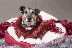 Cão bonito do Corgi que relaxa em uma cama confortável cercada pelo ouropel foto de stock royalty free