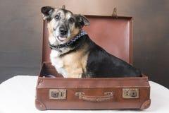 Cão bonito do Corgi que senta-se dentro de uma mala de viagem com sua língua para fora imagens de stock royalty free